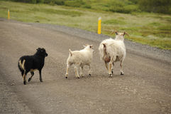 Sheeps crossing roads in Iceland Royalty Free Stock Photo