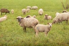 Sheeps curiosos Imagem de Stock