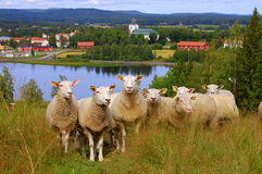 Sheeps curiosos Imagem de Stock Royalty Free