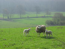 Sheeps dans Limbourg, Hollande Photo stock