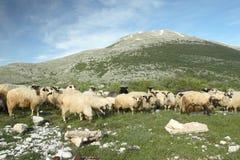 Sheeps, das in Bosnien-Herzegowina weiden lässt Lizenzfreie Stockfotos