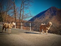 Sheeps in de Alpen royalty-vrije stock afbeelding