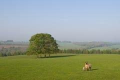 Sheeps del bambino e della mummia in un campo Fotografia Stock Libera da Diritti