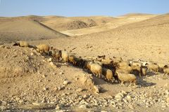 Sheeps in the desert. On the way to the Dead Sea Stock Photography