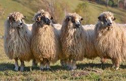 Sheeps die één manier kijken stock foto's