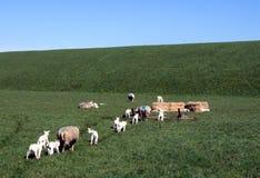 Sheeps die aan de Trog lopen royalty-vrije stock foto's