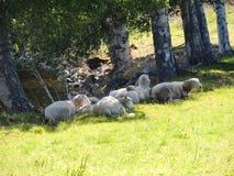 Sheeps die in de schaduw rusten Royalty-vrije Stock Afbeeldingen