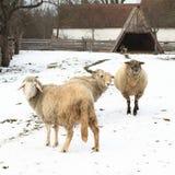 Het lopen sheeps Royalty-vrije Stock Fotografie
