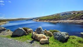 Sheeps die van de zon genieten Stock Fotografie