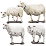 Sheeps in Different Poses Stock Photo