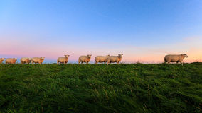 Sheeps on the dike Stock Images
