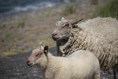 Sheeps on a dike on Texel island in The Netherlands.  stock photo