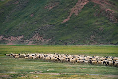 Sheeps and direction Royalty Free Stock Photography