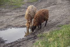 Sheeps drink water in puddle. royalty free stock photos