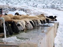 Sheeps drinking cold water. Many sheeps drinking cold water at a place with snow royalty free stock photography