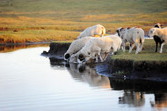 Sheeps drinking water at pond in pasture Royalty Free Stock Photography