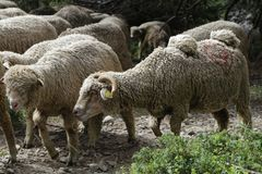 Sheeps on the drive Royalty Free Stock Photos