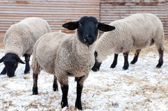 Sheeps du Suffolk Images libres de droits