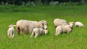 Sheeps e cordeiros foto de stock
