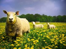 Sheeps e cordeiros Fotografia de Stock
