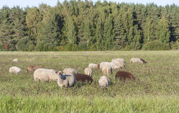 Sheeps eat on grass field Royalty Free Stock Photography
