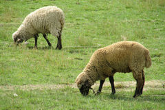 Sheeps eat grass on green field. Sheeps in the farm land green meadow. Cute white sheep Stock Photo