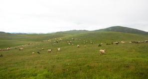 Sheeps eating in durmitor. Sheeps eating at fields on durmitor mountain in montenegro Stock Image