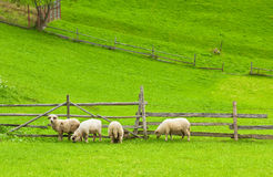 Free Sheeps Eating Fresh Grass - Copy Space Stock Photography - 15909162