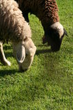 Sheeps eating Grass. Old and young sheeps eating Green Grass Stock Photography