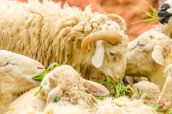 Free Sheeps Eating Grass Royalty Free Stock Photography - 73738217