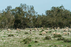 Sheeps eating grass on the field ,morocco Stock Photos