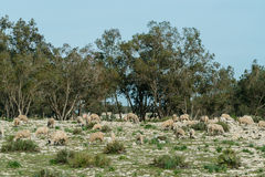 Sheeps eating grass on the field ,morocco Royalty Free Stock Photography