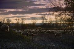 Sheeps Royalty Free Stock Photos