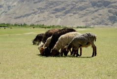 Sheeps eating grass Royalty Free Stock Photography