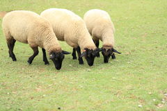 Sheeps eating grass Royalty Free Stock Photos