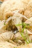 Sheeps eating grass Royalty Free Stock Image