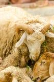 Sheeps eating grass Royalty Free Stock Photo