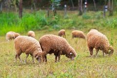 Sheeps eating grass Stock Photo