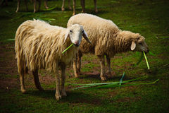 Sheeps eating grass. Two sheeps are eating grass royalty free stock photo