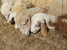 Sheeps eating hay Royalty Free Stock Photos