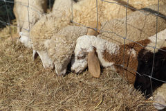 Sheeps eating hay Stock Images