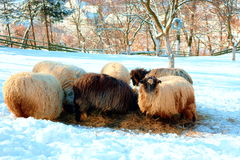 Sheeps eating Stock Images