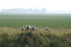 Sheeps ed agnelli Fotografie Stock Libere da Diritti