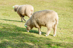 Sheeps in een weide Stock Afbeelding