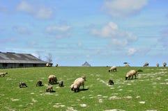 Sheeps in een weide dichtbij Mont Saint Michel in Normandie Royalty-vrije Stock Afbeelding
