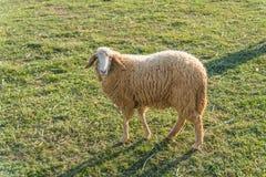 Sheeps in een weide in het landbouwbedrijf Stock Afbeeldingen