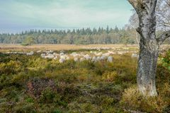 Sheeps on the Elspeter heather. Royalty Free Stock Photo