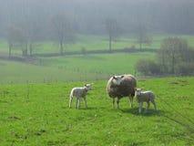 Sheeps em Limburgo, Holland Foto de Stock