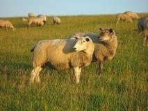 Sheeps em um dique Fotos de Stock Royalty Free