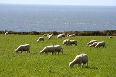 Sheeps em uma exploração agrícola Fotografia de Stock